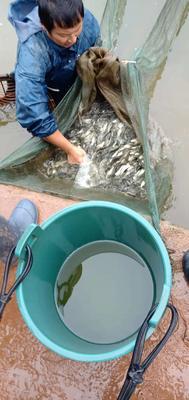 贵州省遵义市桐梓县生态草鱼 人工养殖 1-2.5公斤