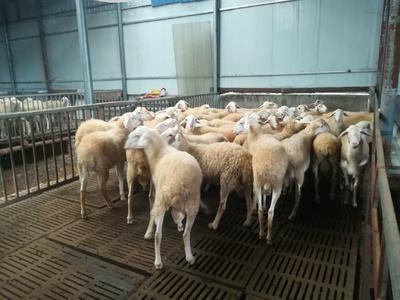 这是一张关于湖羊 80-110斤的产品图片