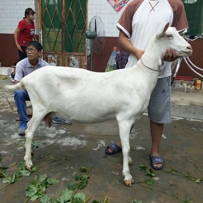 这是一张关于萨能奶山羊 110-140斤的产品图片
