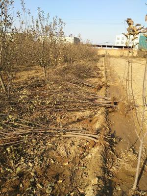 山东省泰安市岱岳区红富士苹果苗 1~1.5米