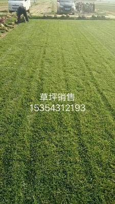河北省石家庄市栾城区早熟禾草坪