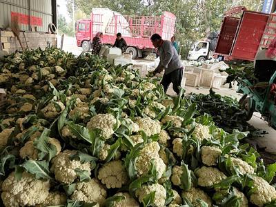 山东省潍坊市高密市有机花菜 适中 2~3斤 乳白色