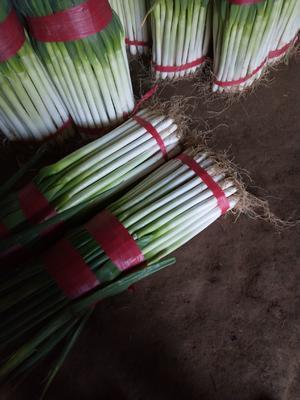 青海省海东市互助土族自治县钢葱 2cm左右 30~40cm 净葱