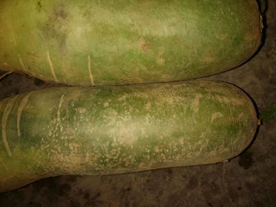 山东省泰安市肥城市青皮绿萝卜 0.2~1斤