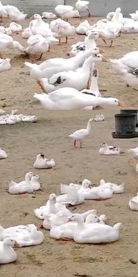 这是一张关于大白鹅 统货 半圈养半散养 6-8斤的产品图片