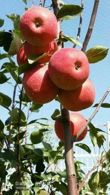 山东省泰安市岱岳区润太1号苹果树苗 1~1.5米