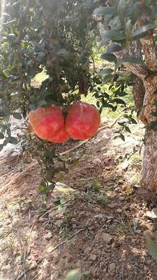 河南省洛阳市偃师市突尼斯软籽石榴 0.6 - 0.8斤