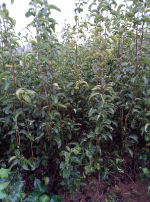 这是一张关于翠冠梨苗 1~1.5米的产品图片