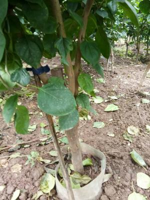 重庆九龙坡区紫花三角梅 1.0~1.5米
