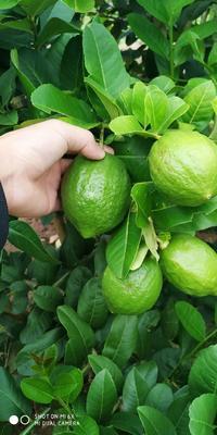 广东省茂名市信宜市香水柠檬 1.6 - 2两