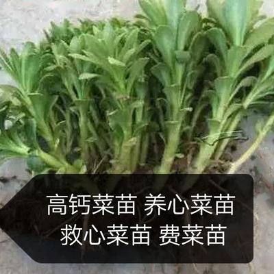 山东省济南市天桥区高钙菜种子