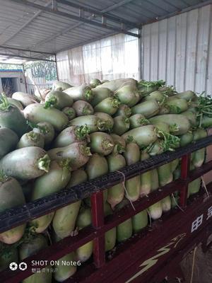 河南省开封市通许县白萝卜 2~2.5斤