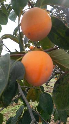 这是一张关于尖柿 2 - 3两以上的产品图片