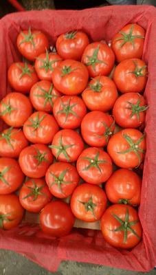 贵州省贵阳市花溪区大红西红柿 不打冷 大红 弧三以上