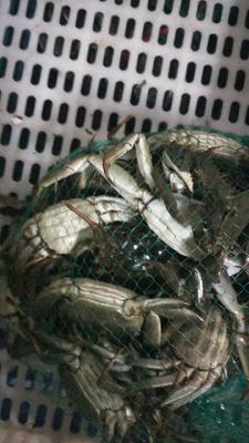 这是一张关于洪湖大闸蟹 2.0-2.5两 母蟹的产品图片