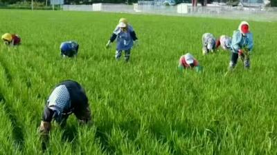这是一张关于香米 有机大米 晚稻 一等品的产品图片