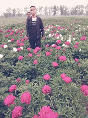 山东省菏泽市牡丹区多花芍药 20cm以上 0.5米以下