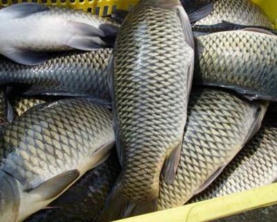 山东省滨州市沾化区池塘草鱼 人工养殖 1-2.5公斤