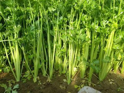 山东省聊城市阳谷县香芹 45~50cm 大棚种植 0.5斤以下