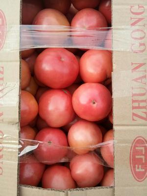 河北省邯郸市邯山区硬粉番茄 不打冷 黛粉 弧三以上