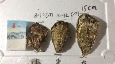 广东省广州市白云区威海牡蛎 人工殖养 1-2两/只