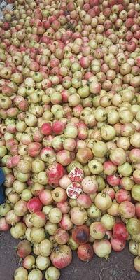 山东省济宁市邹城市甜绿籽石榴 0.3 - 0.5斤