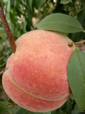 河南省商丘市梁园区映霜红蜜桃 45mm以上 4两以上