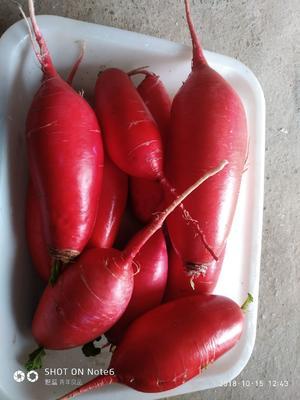 安徽省宿州市砀山县红皮萝卜 1~1.5斤
