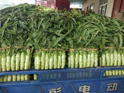 山东省临沂市兰陵县紫叶香莴笋 50-60cm 1.5~2.0斤