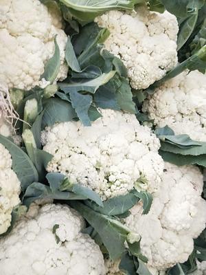 河北省邯郸市丛台区白面青梗松花菜 松散 2~3斤 乳白色