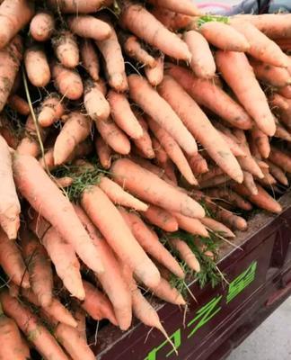 河南省开封市祥符区三红红萝卜 0.2~1斤