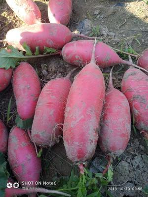 安徽省宿州市砀山县红皮萝卜 0.2~1斤