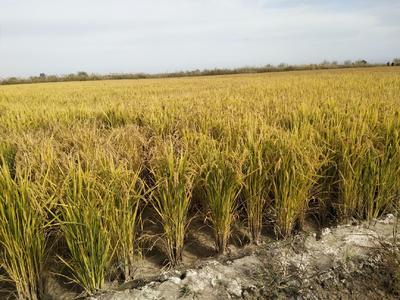 这是一张关于长粒香大米 非有机大米 晚稻 一等品的产品图片
