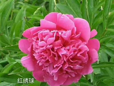 山东省菏泽市牡丹区观赏牡丹 2cm以下 20cm以上 0.5~1米