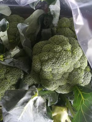 湖北省湖北省天门市绿翡翠西兰花 0.8~1.2斤 15~20cm