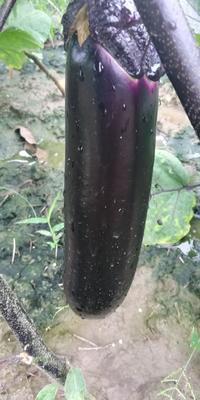 云南省保山市隆阳区墨茄 3两以上