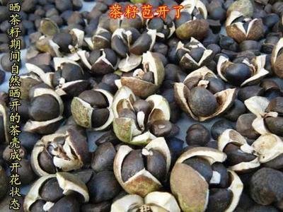 广西壮族自治区桂林市龙胜各族自治县野山茶籽