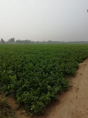 山东省滨州市惠民县法国皇后芹菜 60cm以上 露天种植 1.5~2.0斤