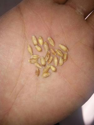 这是一张关于普通小麦的产品图片