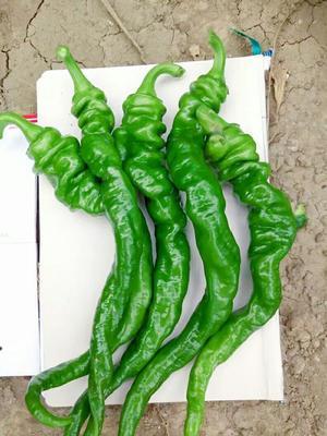 这是一张关于螺丝椒种子 99%以上 杂交种的产品图片