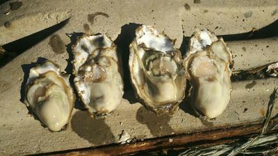 山东省威海市乳山市山东乳山牡蛎 人工殖养 2-3两/只