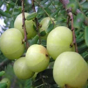 这是一张关于滇橄榄 9g以上的产品图片