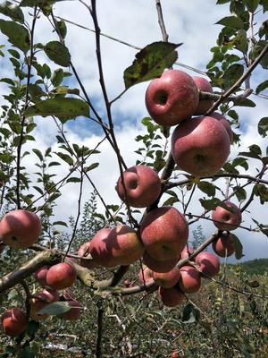 四川省雅安市汉源县红富士苹果苗 0.5~1米