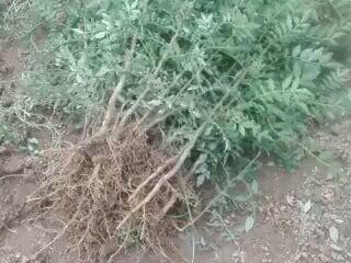 陕西省咸阳市淳化县大红袍花椒苗
