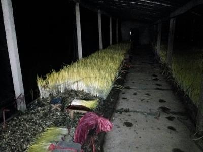 山东省潍坊市安丘市蒜黄 40 - 45cm