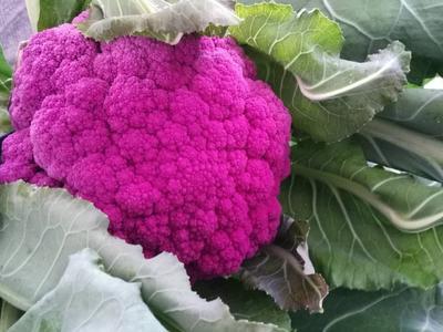 内蒙古自治区包头市固阳县紫色花椰菜 紧密 2~3斤 紫红色