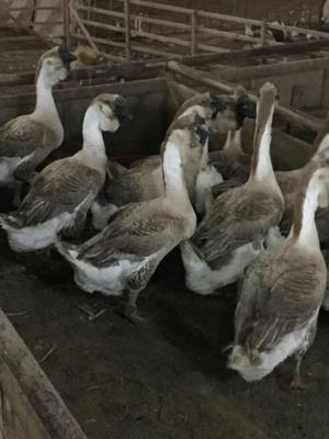 广东省汕头市龙湖区狮头鹅肉 新鲜