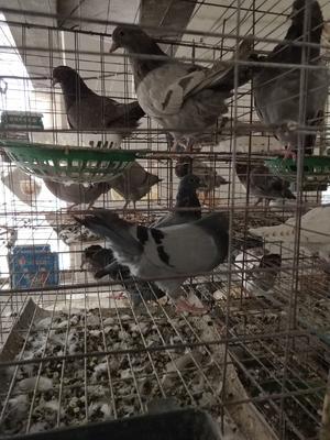 山东省菏泽市郓城县肉鸽 400-500克