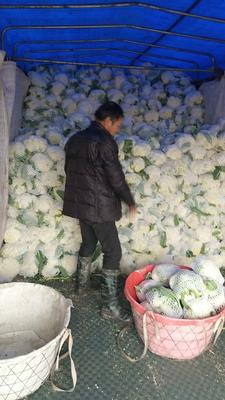 浙江省温州市平阳县白面青梗松花菜 适中 3~4斤 乳白色