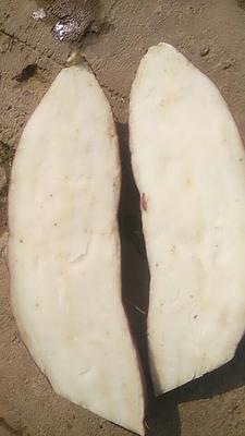 河北省保定市蠡县白板薯 0.5-1斤